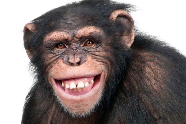 笑うチンパンジー